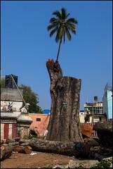 #4 (Arindam Thokder) Tags: tree india bangalore
