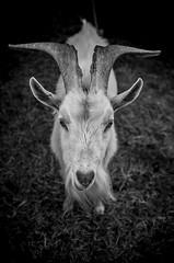 (Lister Silva) Tags: roja fujifilm x100 listersilva lamb natura byn bw photography