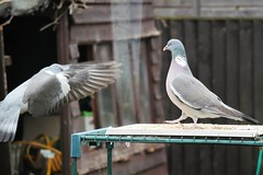 21 April 2017 (46) (AJ Yakstrangler) Tags: yakstrangler pigeon pigeons