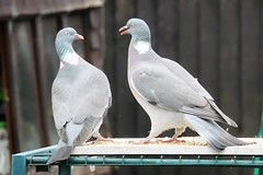 21 April 2017 (19) (AJ Yakstrangler) Tags: yakstrangler pigeon pigeons