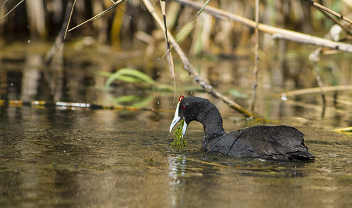 Red-knobbed Coot, pulling water grass out of water , _5906