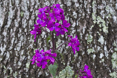 New Honesty, Old Oak (brucetopher) Tags: honesty moneyplant plant weed wildflower purple flower lichen bark tree old new young bloom spring fresh