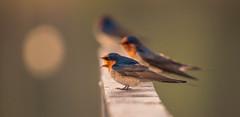 Welcome swallow - (Hirundo neoxena) (AWLancaster) Tags: welcomeswallowhirundoneoxena welcomeswallow swallow sony birding photowalk lightroom adobe nativebirds native bestbirds birdsofflickr
