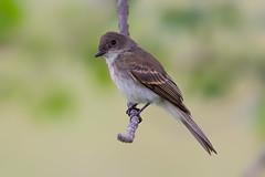 Eastern phoebe (Phiddy1) Tags: birds canada easternphoebe ontario phoebe