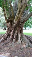 Grand Old Tree (ckrahe) Tags: sydney