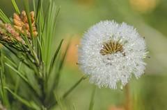 Rocío en el diente de león (Pedro Ruiz L) Tags: dandelion blowball faceclock d7000 pedroruiz pereruiz vegetales flores gente aire libre serenidad textura planta flor macrofotografía patrón profundidad campo orgánico dientedeleón rocío