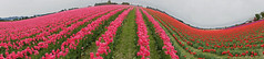 Hills and Valleys (Panorama, Distorted) (sea turtle) Tags: panorama washington tulip tulips flower flowers skagit skagitvalley skagitcounty tulipfestival festival skagitvalleytulipfestival skagitcountytulipfestival field fields color colors colorful bright spring bloom blooming blooms blossom blossoms pink sony nex nex3 sonynex3 18200