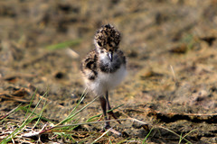 Lapwing Chick (Pedrosky.) Tags: lapwing chick elmly isleofsheppey bird nature wildlife kent