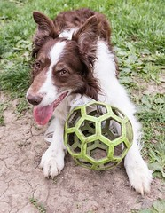 Roll Call? (Crawford Canines) Tags: bordercollies portrait play outdoors dogs canines outside spring playing ball fetch happy