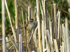 SWSP_2017b (Surfishrink) Tags: swampsparrow melospizageorgiana pandapaspond virginia montgomerycounty bird