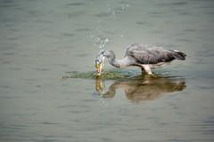 Fishing (malc1702) Tags: greyheron heron birds largebirds wildlife animals wildlifesanctuary wildlifephotography nikond7100 tamron150600 birdphotography water ripples reflection waterdroplets ngc