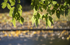 Life and death (Ian@NZFlickr) Tags: autumn fall leaves death golden warrior war insanity dunedin otago nz