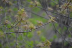 25 April 2017 Rain (bkazmer) Tags: maple rain saintcloudmnkazmer elaineschrenk