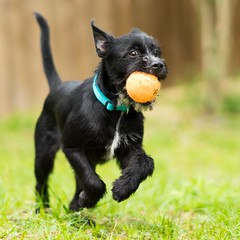 Happy pup (alpha5100) Tags: puppy pup fetch rocky rescue foreverhome sonyphotography gmaster a7ii