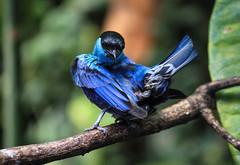L'oiseau bleu (morganelafond) Tags: blue oiseau bird bleu parcdesoiseaux parc colibri nature