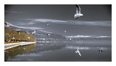 staying still .. (dagios) Tags: ioannina ιωαννινα λιμνη ιωαννινων γλαροι gull greece