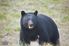 Bear 1 of 2013 (Ursus americanus) (Neil Young Photography (nyphotos.ca)) Tags: bear canada black photography nikon young alberta blackbear ursus americanus fotoman highway11 davidthompsoncountry nyphotos d700 youngneil americanusneil