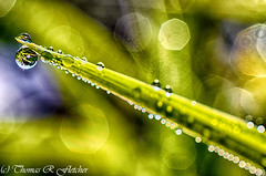 Dewdrops on Grass (travelphotographer2003) Tags: usa green ecology field grass spring solitude bokeh scenic westvirginia dew serenity relaxation exploration idyllic appalachia freshness appalachianmountains purity tranquilscene alleghenymountains beautyinnature webstercounty pasturefield