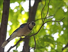 Bluejay: Much Too Warm To Be Out Long (Sue90ca On The Mend: Trying To Catch Up) Tags: hot tree bird canon fence day bluejay 70300mm 60d