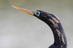 Anhinga (Let there be light (Andy)) Tags: texas anhinga brazosbend texasbirds uppertexascoast