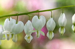 May 14th, Bleeding hearts (violetflm) Tags: flower spring may glencoe bleedingheart cbg chicagobotanicgarden edim may14th d300s d3v4604