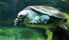 tortue (stef.starco) Tags: nature animal canon zoo aquarium turtle wildlife 5d 41 loiretcher beauval 24105mm zoodebeauval saintaignan zooparc staignan 5dmkii stefstarco