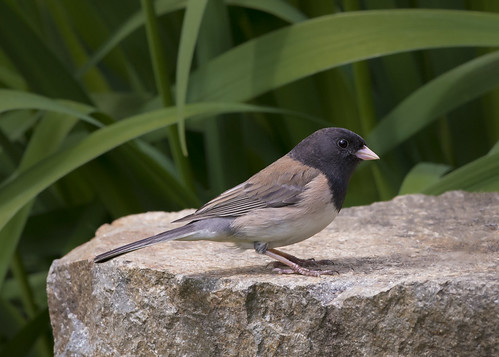 Dark-Eyed Junco, Oregon Race