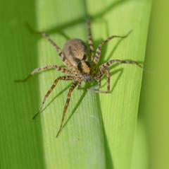 "2013.06.05 SpiderCube (Sbastien Duchassin ""DarkBizkit"") Tags: brown macro green spider nikon sigma vert marron araigne proxy 150mm macrographie d7100"