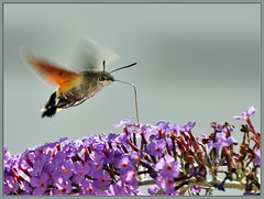 Taubenschwnzchen (MacroManni) Tags: france macro butterfly insect frankreich papillon falter makro insekt schmetterling hawkmoth hummingbirdhawkmoth taubenschwnzchen vende