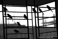 Stuck or Enjoying the Rain ? (Nasirul Islam) Tags: bw rain birds blackwhite rainyday rainy sparrow dhaka bangladesh stuckinrain enjoyingtherain