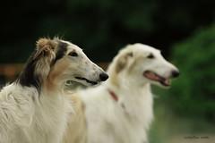 borzoi beauty (athenakristiina) Tags: summer dog cute nature beauty happy cool pretty tallinn sweet awesome sunny sighthound borzoi happydog russianwolfhound gazehound highqualitydogs
