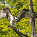 Female Osprey showing her beautiful wings and sharp talons near the shoreline of Lake Ozonia.  Photo: Joe Woody