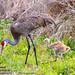 "bird-sandhill-crane-chick-<br /><span style=""font-size:0.8em;"">Taken in Wetlands, Brevard County, Florida</span> • <a style=""font-size:0.8em;"" href=""http://www.flickr.com/photos/18570447@N02/9182004265/"" target=""_blank"">View on Flickr</a>"