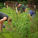 Faculty and staff volunteers weed around tomato plants at the Agroecology Education Farm work day.