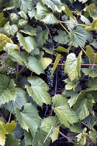 Photo - Wild Grape