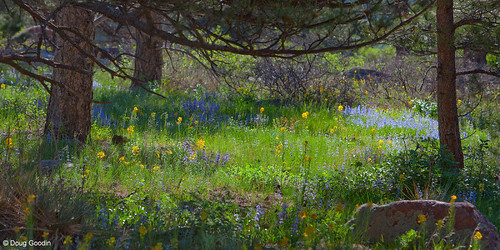 Photo - Wildflowers in a meadow under ponderosa pines.