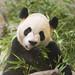 da mao the panda - toronto zoo - 03
