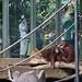 orangutan - toronto zoo - 12