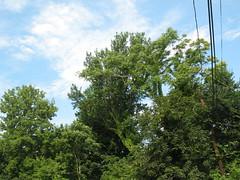 Tree (aaron.knox) Tags: trees tree nature boston ma vines massachusetts powerlines urbannature roxbury