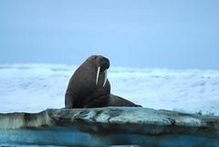 Walrus Hunt 8_5_13 1 249 (efusco) Tags: ocean sea ice alaska native arctic butcher hunter beaufort walrus hunt midnightsun iceburg floe inupiat inupiaq aivik femalewalrushunt85131