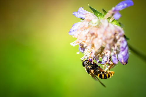 """Bee on green • <a style=""""font-size:0.8em;"""" href=""""http://www.flickr.com/photos/72423171@N00/9486797561/"""" target=""""_blank"""">View on Flickr</a>"""