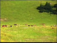 Miniaturkhe Tiltshift (Jasmin's Art) Tags: alps cow shift alpen tilt khe tiltshift