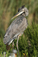 Twist and look (catoledo) Tags: nature birds wildlife greatblueheron 2013 bombayhookwildlifepreserve