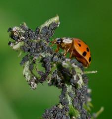 Hunter and the Hunted.Explored (Omygodtom) Tags: macro nature insect nikon bokeh hunting tammy tiny ladybug existinglight tamron tamron90mm dk7 d7000 elitebugs