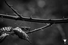 Safe (lerizona) Tags: light shadow sun white black animals licht grasshopper thorn sonne schatten tier dorn heupferd canoneos600d sigma70200mmf28exdgoshsm