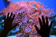 Anemone (fabiopensi) Tags: nikon italia mare nemo blu liguria fabio genova anemone pesci medusa azzurro acquario oceano pesce pagliaccio fano delfini vasca meduse delfinario profondit 2013 pensi d3100 fabiopensi