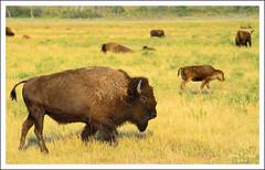 Oh give me a home, where the buffalo roam... (thedaner) Tags: life park wild hairy grass animal walking mammal buffalo nikon wildlife horns grand national american wyoming teton bison bovidae bovinae herd grazing roaming grandtetonnationalpark americanbison bisonbison americanbuffalo d7000
