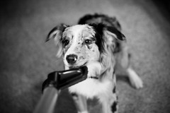 130/365 Cap (BlueDog_1199) Tags: blue dog canon puppy shepherd australian days cap captain 7d 365 aussie australianshepherd merle