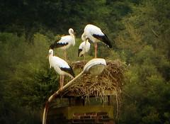 IMG_2705 stork family (pinktigger) Tags: chimney italy bird nature italia nest stork cegonha cigea friuli storch cigogne ooievaar fagagna cicogna oasideiquadris feagne