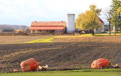 It's the Great Pumpkin(s)! (Ellesche) Tags: autumn orange ontario fall farmhouse barn fallcolor farm pumpkins harvest georgetown silo haltonhills